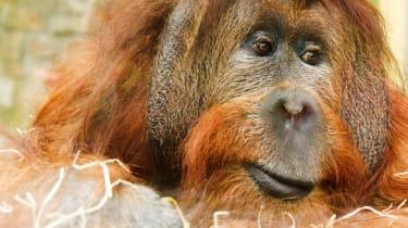 A great ape