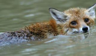 160623-fox.jpg