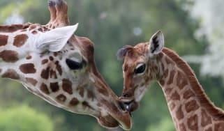 Two giraffes in a zoo in Berlin