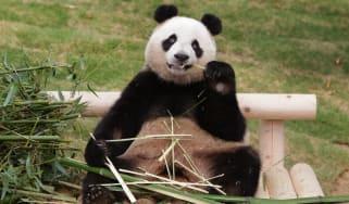 160407-panda-everland.jpg