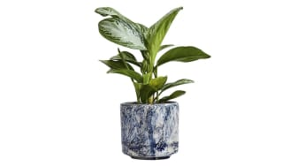 Patch Plants Anna Chinese Evergreen