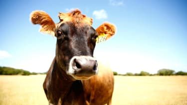 AUCKLAND, NEW ZEALAND - JANUARY 20:A cow is pictured in the dry conditions at Ambury Farm on January 20, 2015 in Auckland, New Zealand. Soil-moisture levels across the country are lower than