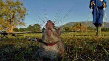 Landmine rat