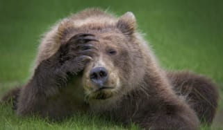 180917_comedy_wildlife_danielle_dermo_-_coastal_brown_bear_cub_with_headache.jpg